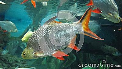 Tinfoil Barb fish