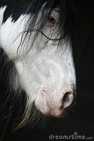 Tinker horse portrait