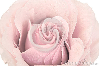 Tinted pink rose isolated