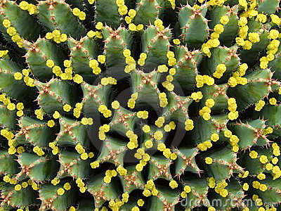 Tiny blossoms of huge Euphorbia