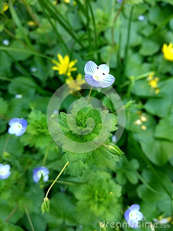 Tiny blue flower on a blurry green grass and yellow flowers background Stock Photo