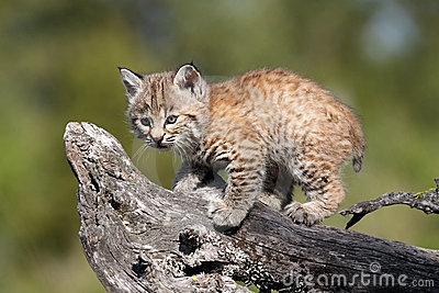Tiny Bobcat Kitten