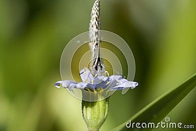 Tiny butterfly, head on macro.