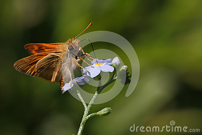 Tiny Butterfly on violet flower