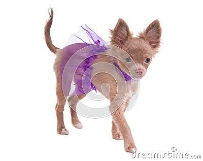 Tiny chihuahua ballerina puppy