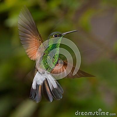 Tiny emerald hummingbird in flight