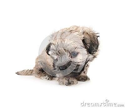 Tiny fluffy puppy