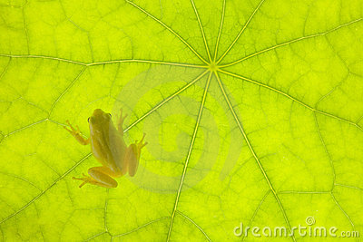 Tiny Frog on a Green Leaf