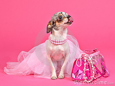 Tiny glamour dog with pink accessories