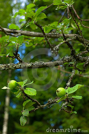 Tiny Green Apples On Tree Stock Photography - Image: 17332042
