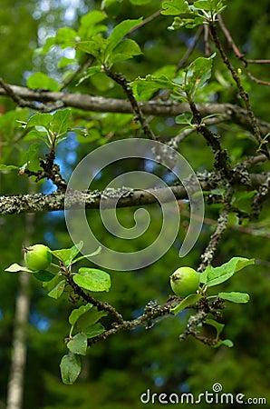 Tiny green apples on tree