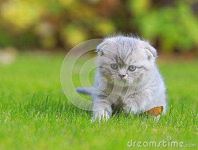 Tiny grey kitten on green grass