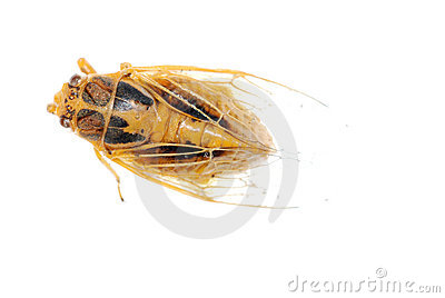 Tiny insect cicada