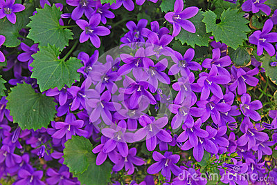 tiny purple flowers stock photography  image, Beautiful flower