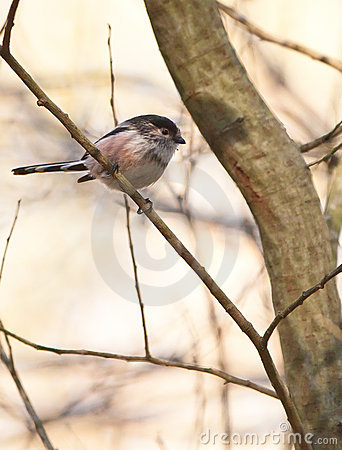 The tiny Long-tailed Tit