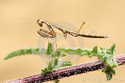 Tiny mantis