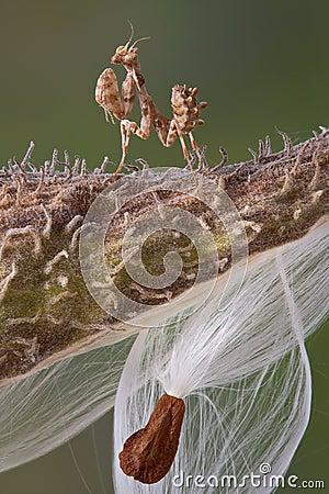 Tiny Mantis on Milkweed