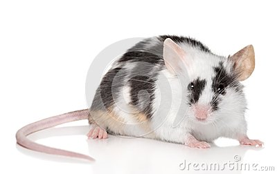 Tiny mouse on white background