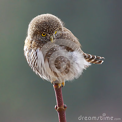Free Tiny Owl  Royalty Free Stock Images - 64371679