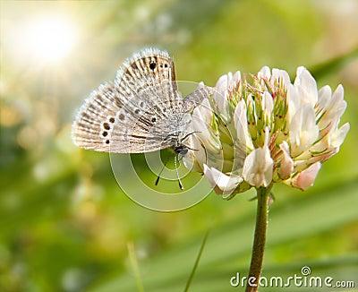 Tiny Reakirt s Blue butterfly