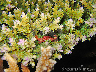 Tiny Reef Crab