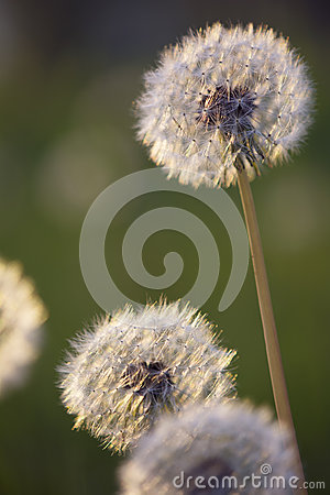 Tiny Spring dandelions bathing in the last rays