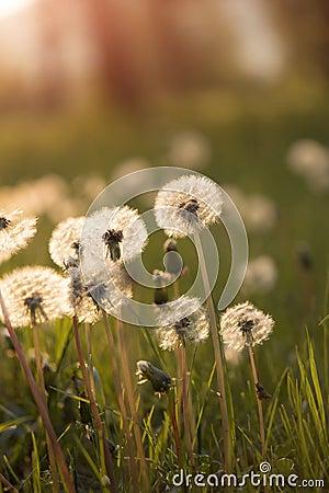 Tiny Spring dandelions bathing in the sun