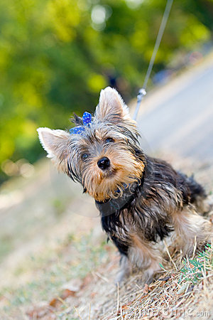 Tiny terrier sitting on the ground