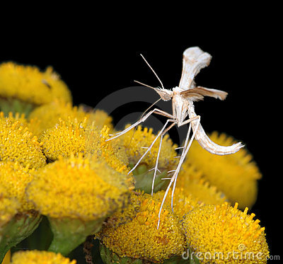 The tiny  White Plume Moth