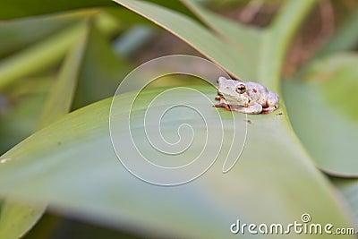 Tiny tree frog on leaf