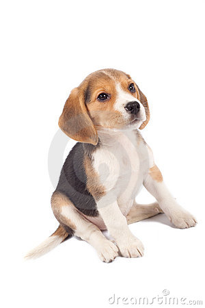 Tired beagle puppy