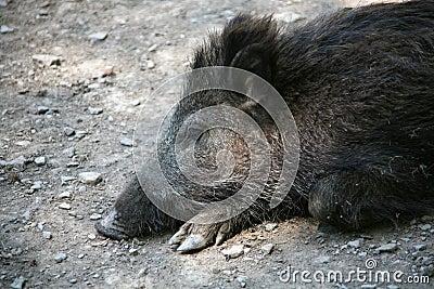 A tired boar