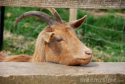 Tired Goat