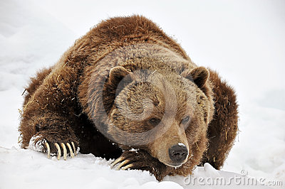 Tired grizzly bear