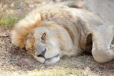 Tired lion dozes in the cool shade
