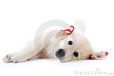 Tired retriever puppy resting with red bows