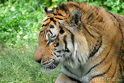 Sleeping Siberian Tiger Russia 1440x900 Wallpapers ... |Bengal Tiger Tired