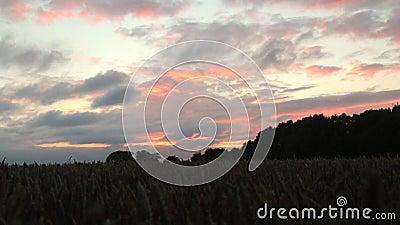Tiro da zorra que segue longe de um campo de trigo, com um por do sol dourado, vermelho e um céu dramático vídeos de arquivo