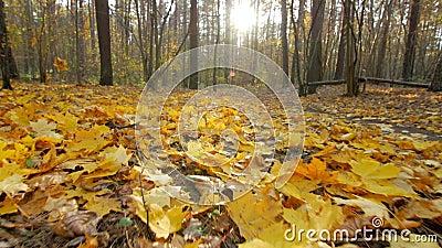 Tiro de gerencio do baixo ângulo na floresta do outono filme