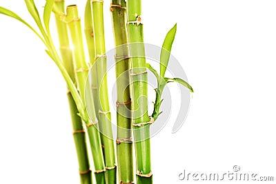 Bambu tallo amarillo hojas verdes
