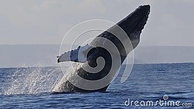 Tiro extremamente raro de uma ruptura completa da baleia de corcunda filme