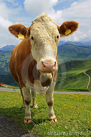 Tiroler cow