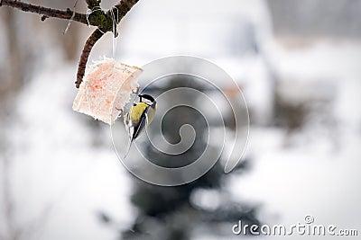 Tit bird feeding