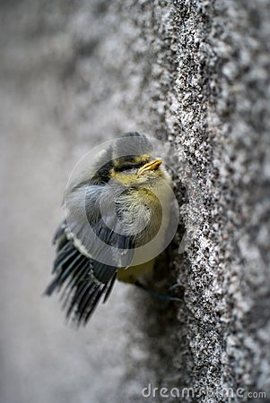 Tit bird holding the wall