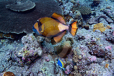 Titan trigger fish, Indian ocean underwater