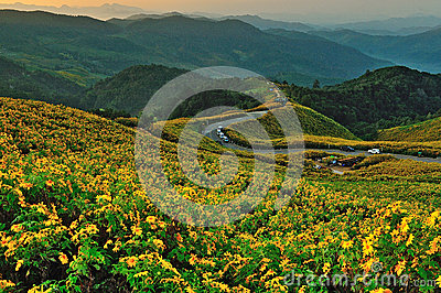 Tithonia ( Mexican sunflower) , viewpoint on mountain in the morning at Doi Mae U-khaw, Mae Hong Son province Thailand.