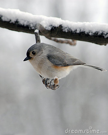 Free Titmouse Stock Images - 83714