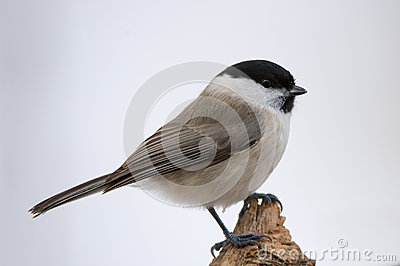 Titmouse Stock Photo