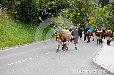 To bring the cattle down Editorial Stock Image