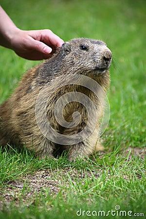 To stroke a marmot